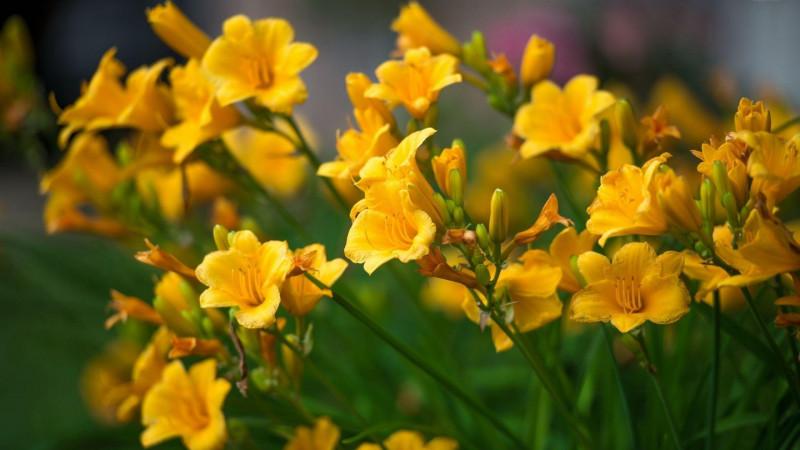 Yellow Freesia Image