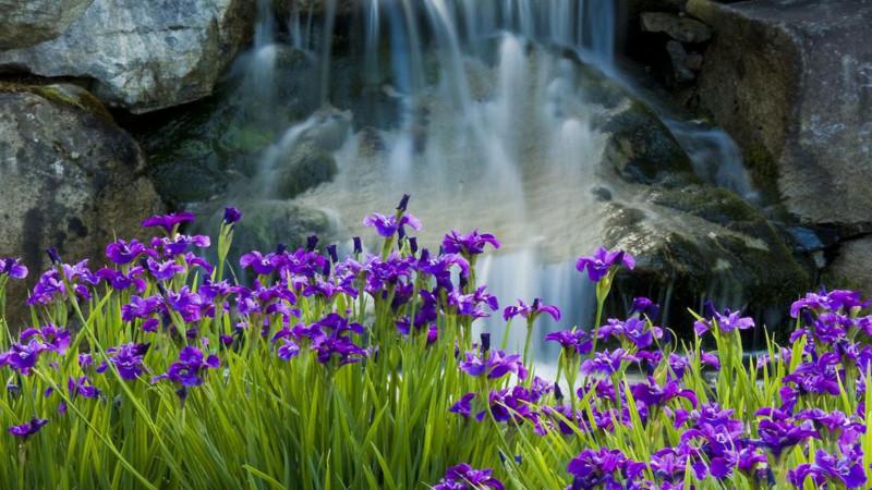 Blue Irises Image