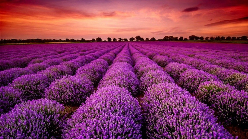 Lavender Plants Field During Sunset