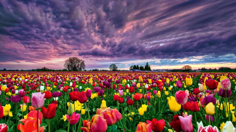 Tulip Field Image