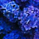Blue bunch of hydrangea flowers.