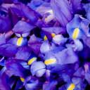 Purple-yellow iris flowers.