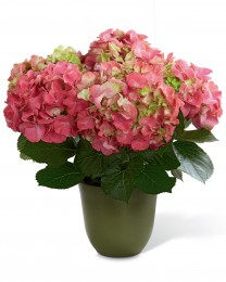 The Pink Hydrangea Planter