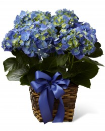The Blue Hydrangea Planter