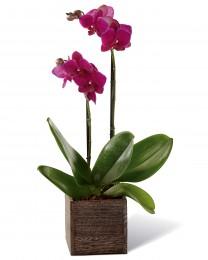 The Fuchsia Phalaenopsis Orchid