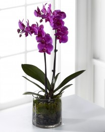 The Pink Orchid Plant