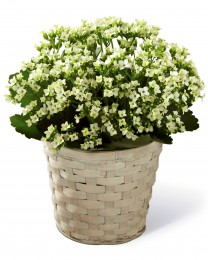 The White Kalanchoe