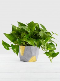 Golden Pothos – Tabletop Plant