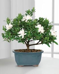 Blossoming Abundance Gardenia Bonsai - 8 inch